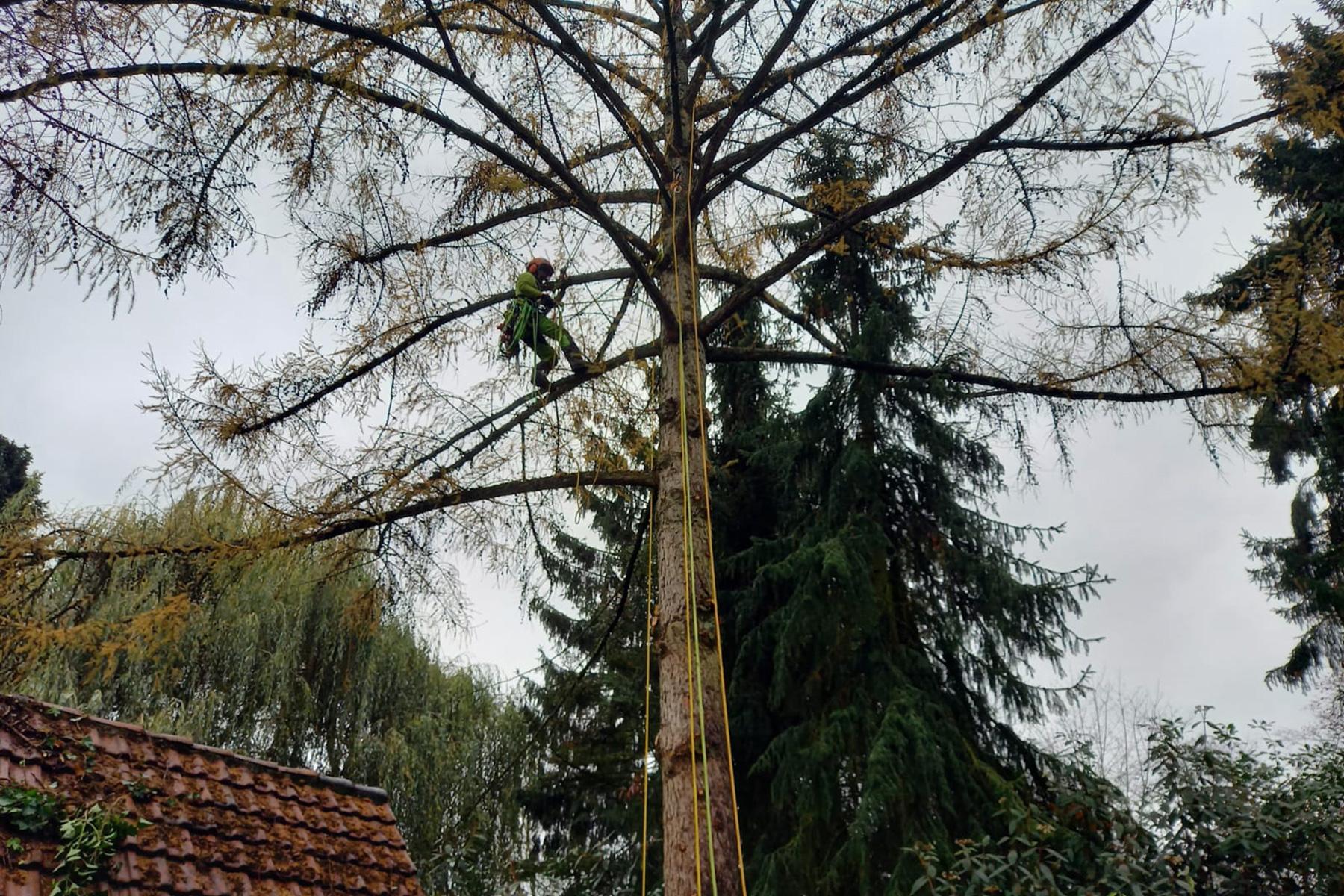 Baumdienst Baumpflege Baumfällung Baumkletterer