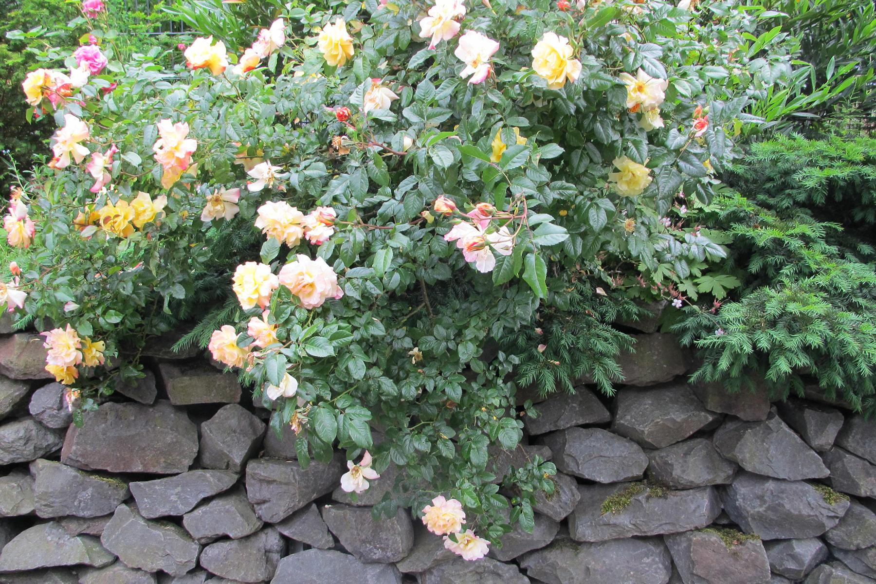 Gartenpflege Wojtkowski Natursteinmauer mit Rose