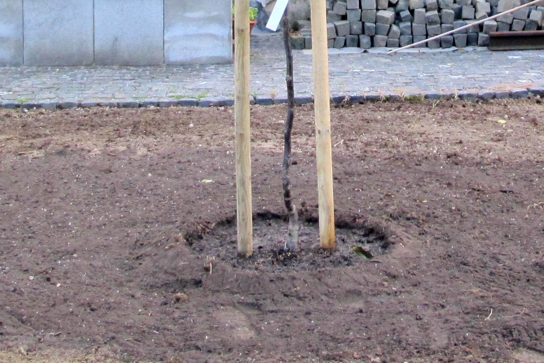 Gartenpflege Wojtkowski Neupflanzung Walnussbaum