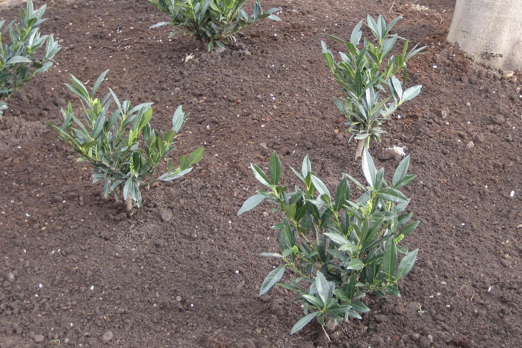 Gartenpflege Wojtkowski Neupflanzung Lorbeerkirsche