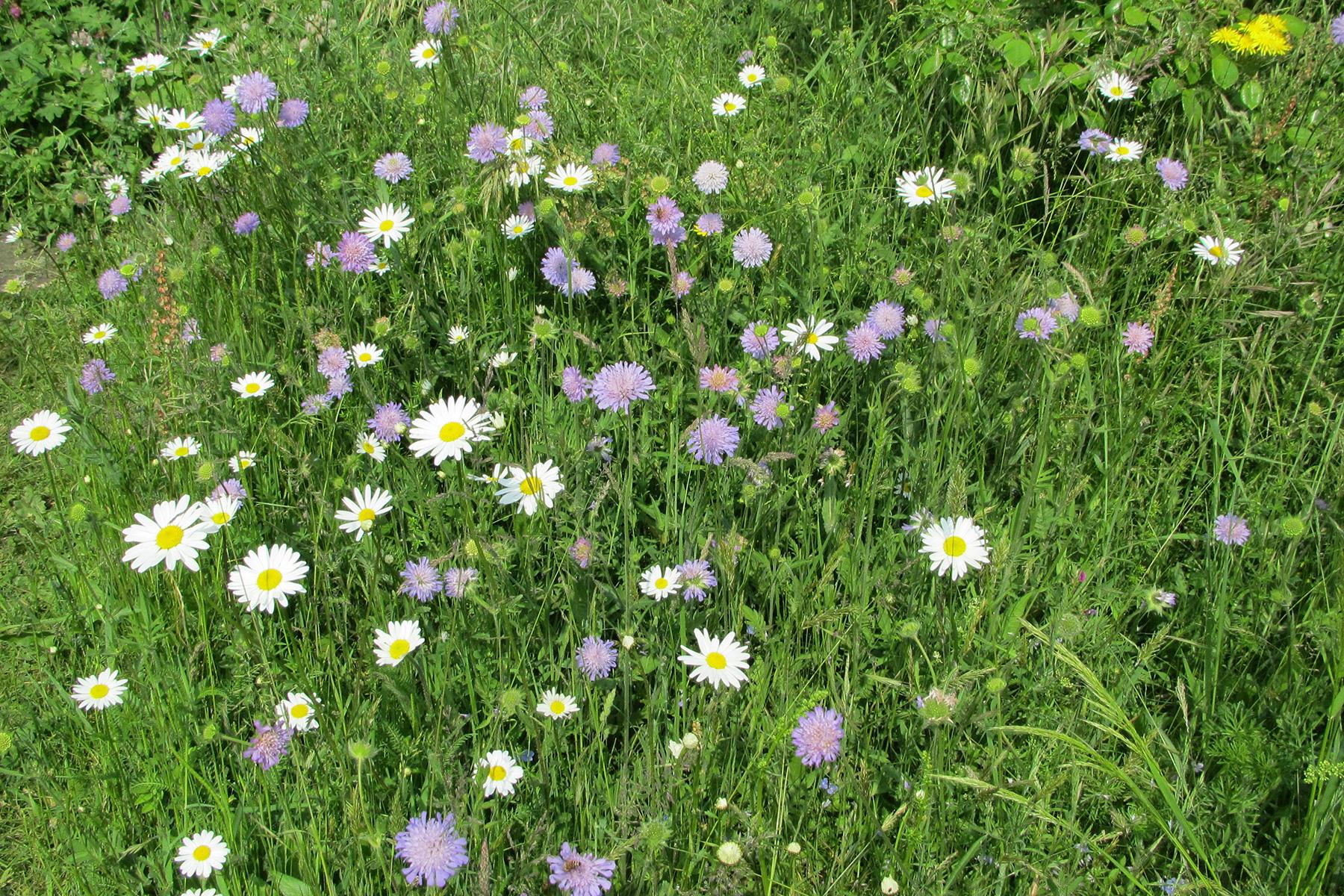 Gartenpflege Wojtkowski Blumenwiese