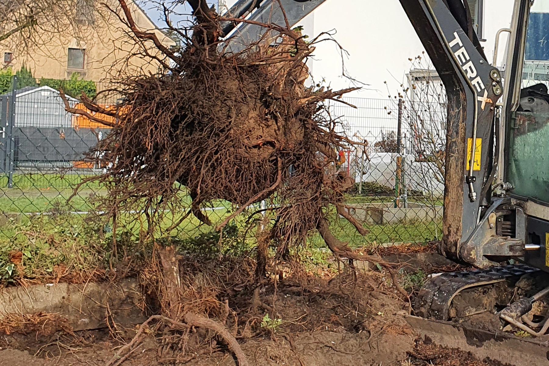 Baumpflege Wojtkowski Baumwurzelentfernung in Privatgarten